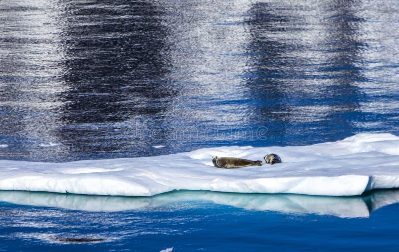 Sellos que descansan sobre el hielo flotante fotografía de archivo