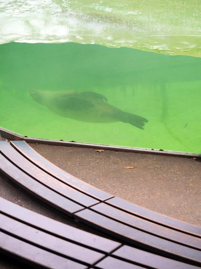 Sellos que nadan en la piscina del parque zoológico foto de archivo