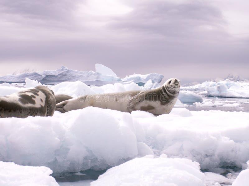 Sellos que se reclinan sobre un iceberg imagen de archivo