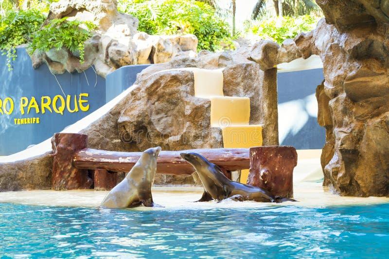 Sellos y leones marinos de las demostraciones en la piscina, parque de Loro, Tenerife imagenes de archivo