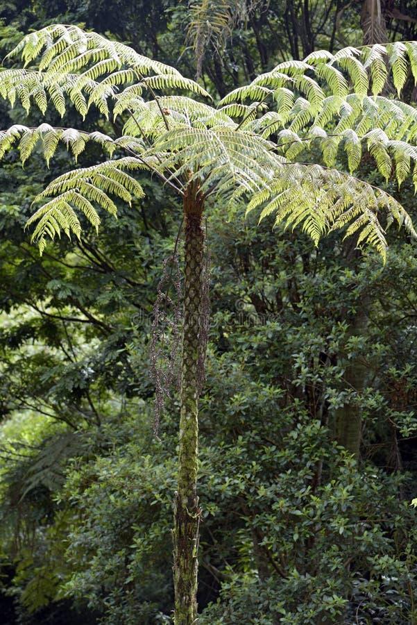 Sellowiana del Dicksonia, el gran helecho de las Américas fotografía de archivo