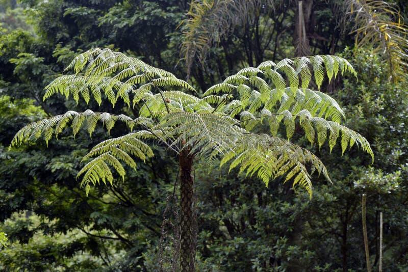 Sellowiana del Dicksonia, el gran helecho de las Américas fotos de archivo libres de regalías