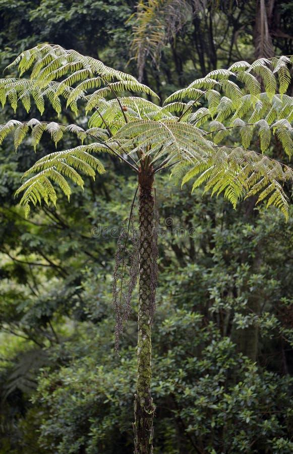 Sellowiana del Dicksonia, el gran helecho de las Américas fotos de archivo