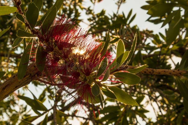 Sellowinana de fleur avec le coucher du soleil Fin vers le haut photographie stock