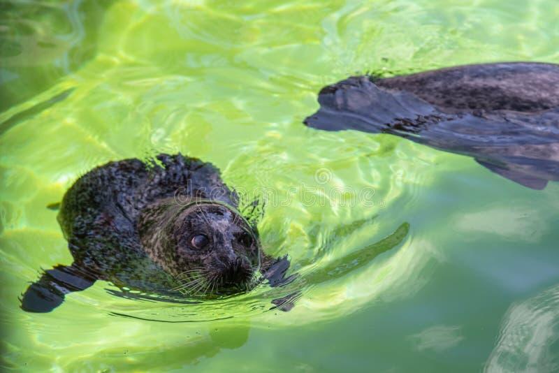 Selo Cinzento Atlântico - Halichoerus grypus nadando na superfície da água no terário Selo engraçado olhando para cima e descansa fotos de stock