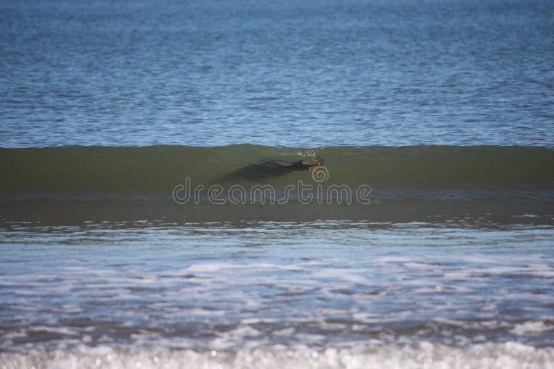Selo cinzento que surfa imagem de stock royalty free