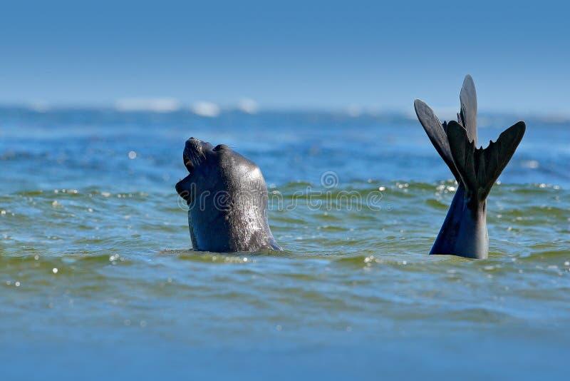 Selo de elefante, leonina do Mirounga Selo na água do oceano Animal de mar grande no habitat da natureza em Falkland Islands Selo fotos de stock