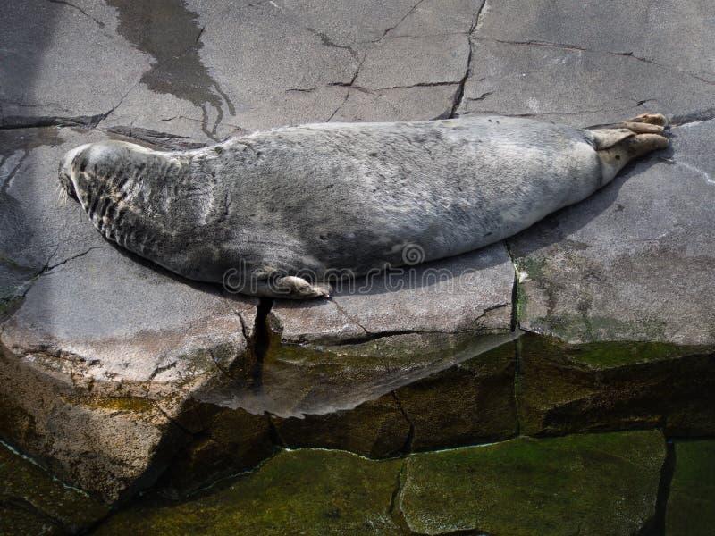 Selo de porto que coloca na pedra no jardim zoológico imagens de stock royalty free