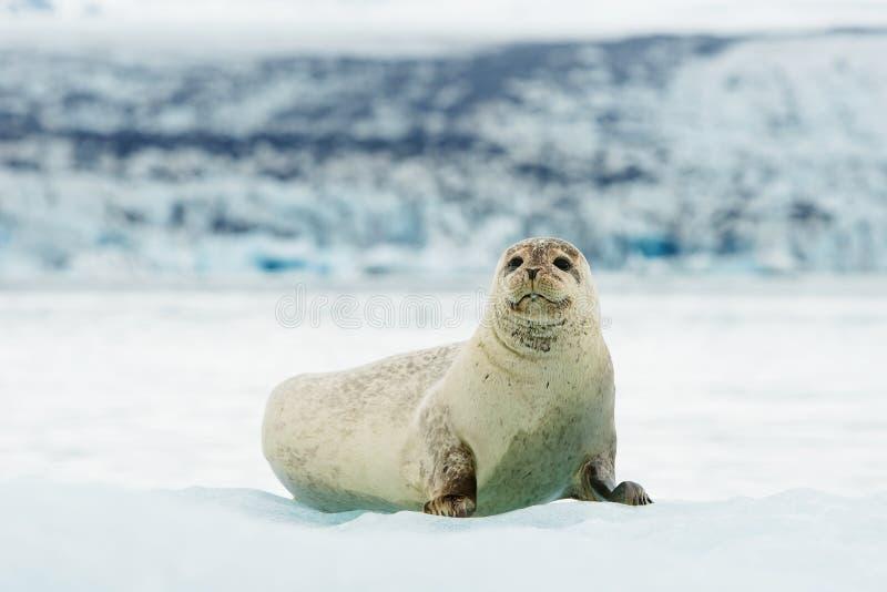 Selo farpado de encontro no gelo no ártico fotos de stock
