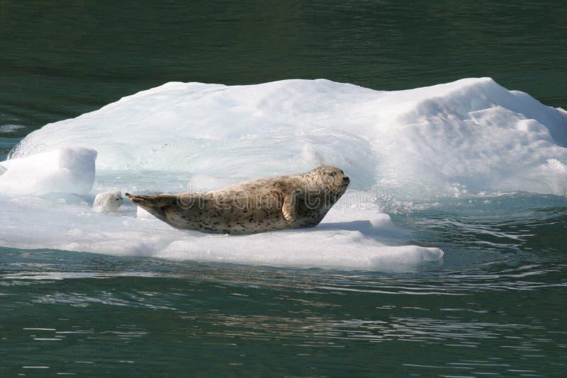 Selo no iceberg do Alasca imagens de stock royalty free