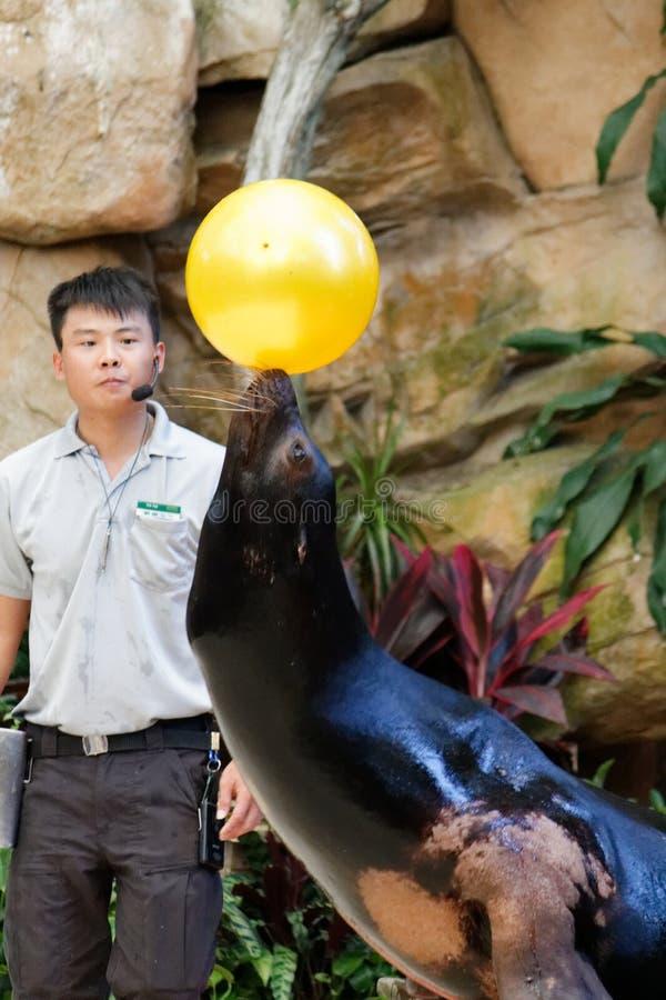 Selo que equilibra a bola amarela, prazer do turista fotografia de stock royalty free