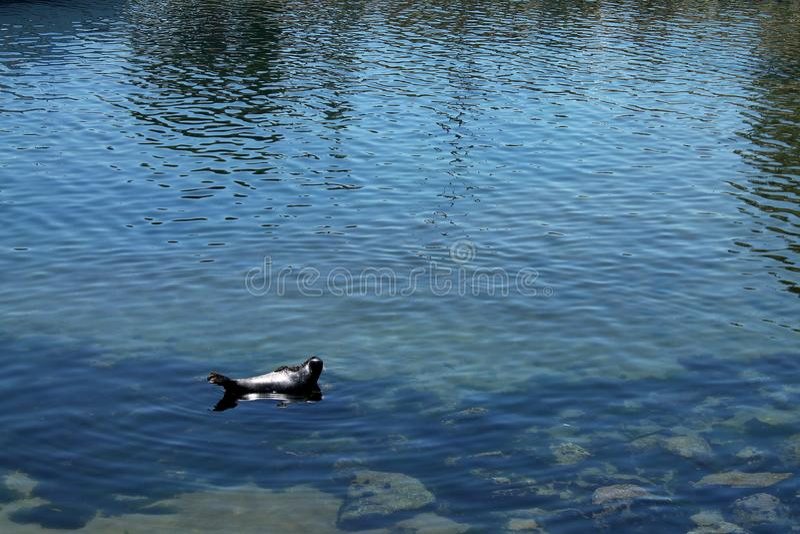 Selo solitário que senta-se no sol em uma rocha na água do porto em Monterey, Califórnia fotografia de stock