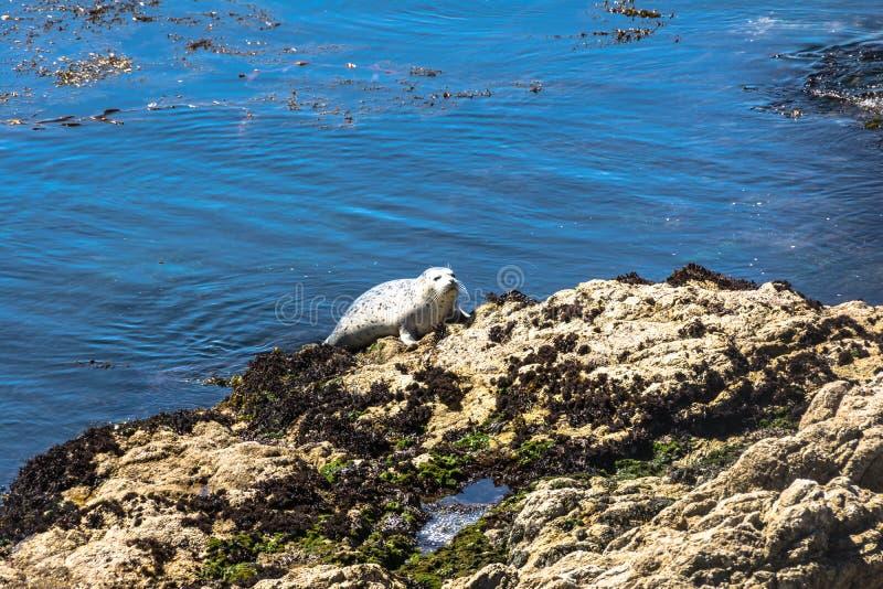 Selo transportado para fora na rocha, Monterey, Califórnia foto de stock