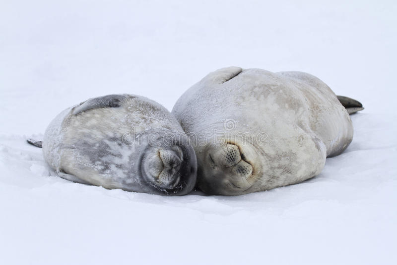Selos da fêmea e grandes de um Weddell do cachorrinho que encontram-se no gelo em Antar fotos de stock royalty free