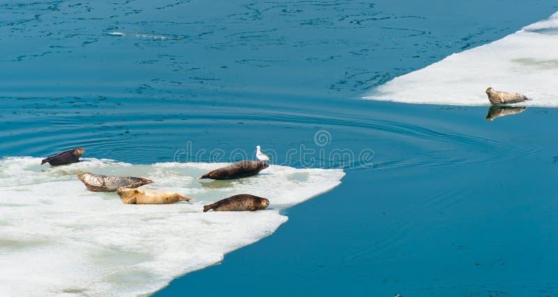 Selos de Larga que descansam no gelo de flutuação imagem de stock
