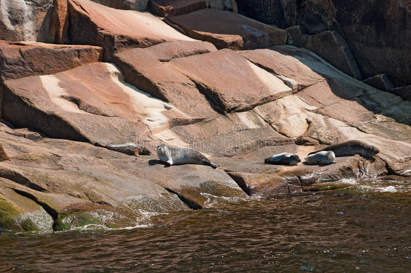 Selos de porto, fjord saguenay, Quebeque foto de stock