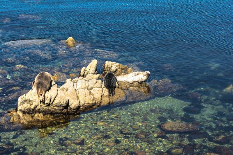 Selos de porto nas rochas em Monterey, Califórnia foto de stock