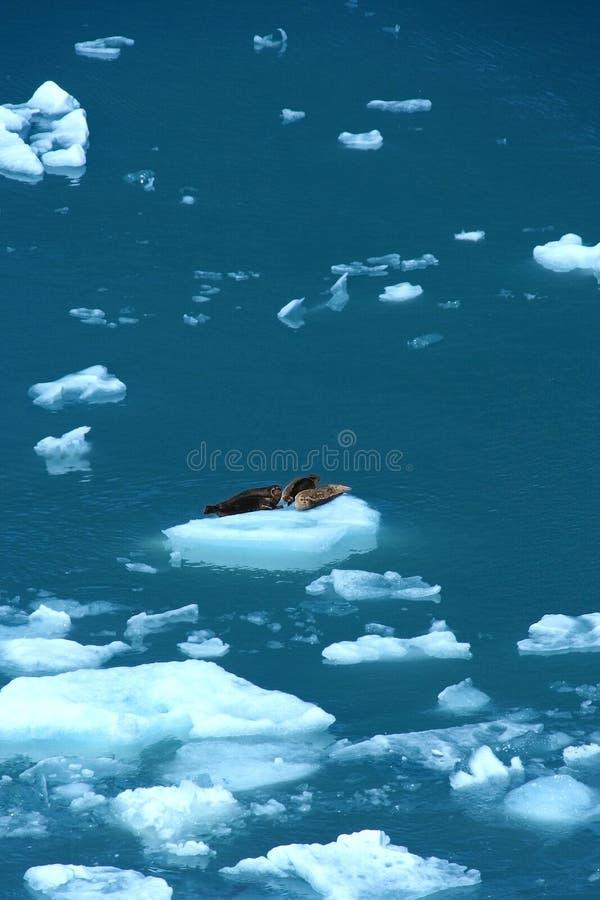 Selos de porto no floe de gelo fotos de stock royalty free