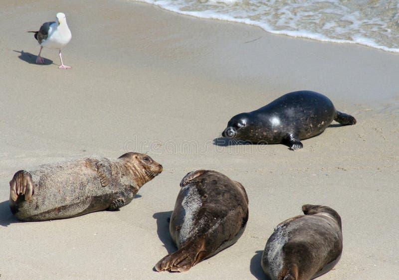 Selos de porto pacíficos na praia fotos de stock royalty free