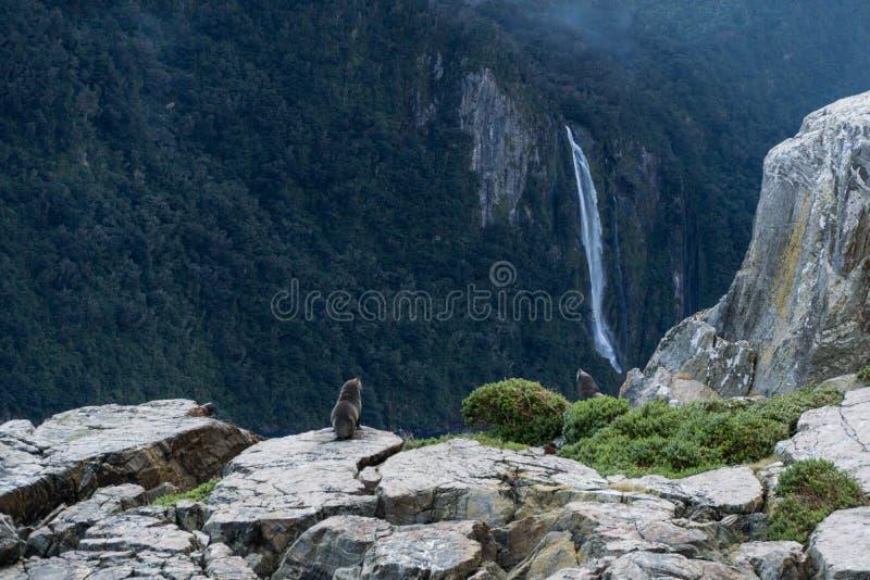 Selos em rochas e montanhas e nuvens em Milford Sound, Nova Zelândia com a cachoeira no fundo imagens de stock royalty free