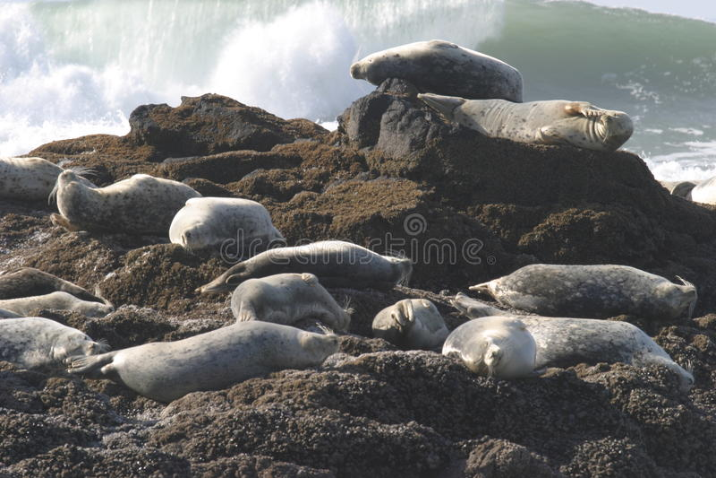Selos na costa do Oceano Pacífico fotografia de stock royalty free