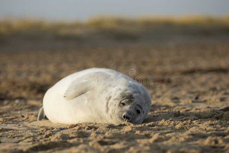 Selos no inverno na praia, Winterton no mar, Norfolk, Reino Unido em t imagens de stock royalty free