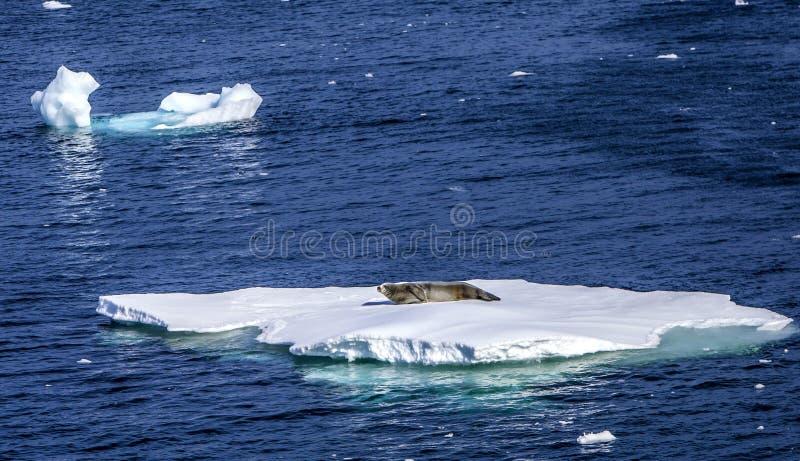 Selos que descansam em flutuar ice-2 fotos de stock