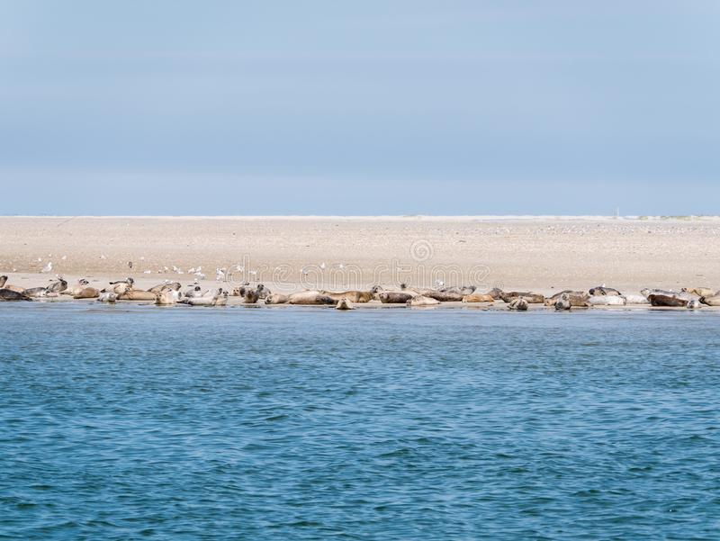 Selos que descansam em planos da areia de Rif no mar maré Waddensea, Nethe fotos de stock royalty free