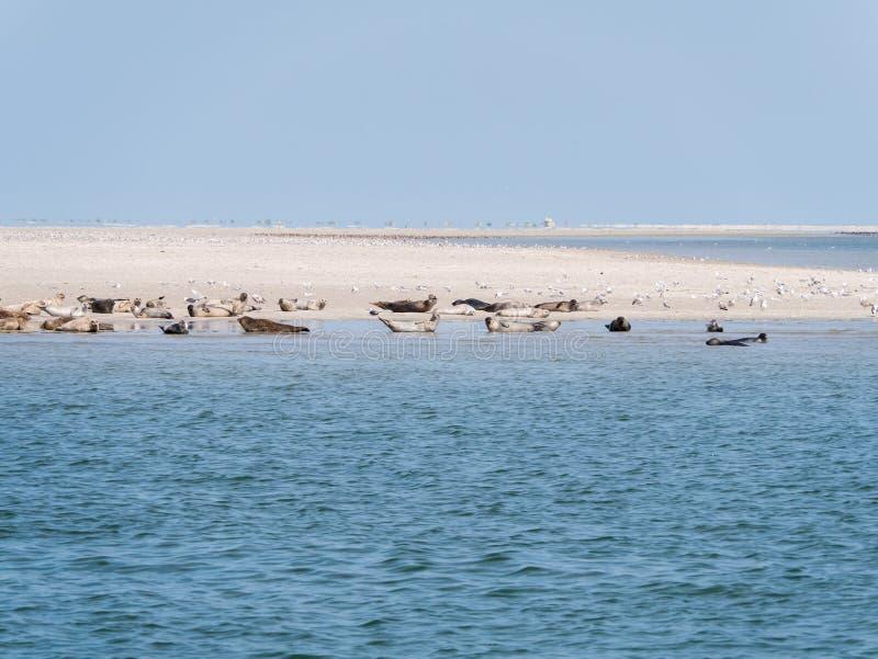 Selos que descansam em planos da areia de Rif no mar maré Waddensea, Nethe foto de stock royalty free