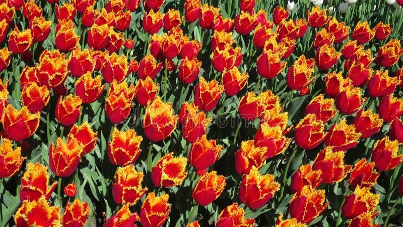 Seltene Art der Tulpe in der vollen Blüte lizenzfreies stockfoto
