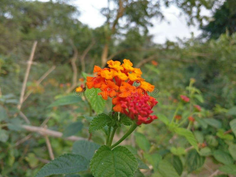 Seltene Blume lizenzfreie stockbilder