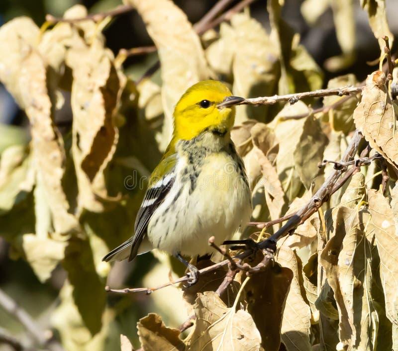 Seltene Colorado-Besucher Schwarzer-Kehlkopf-Grüner Warbler stockbild