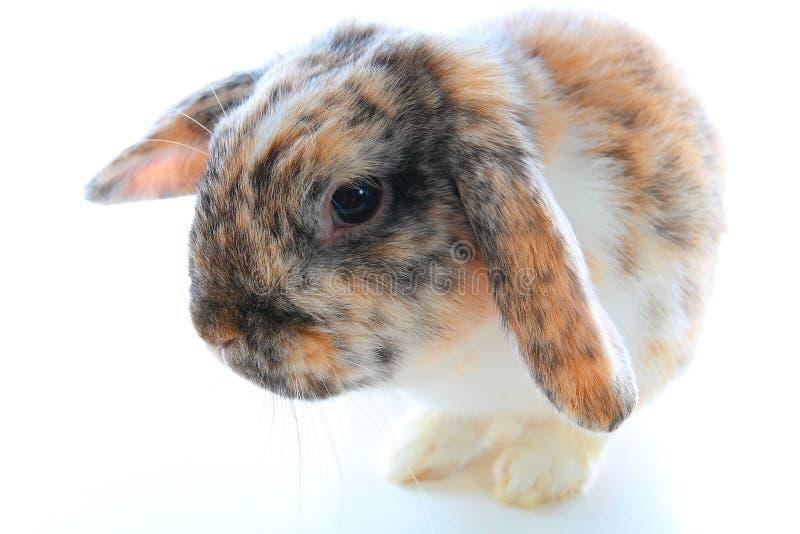 Seltene Kaninchenfarbe Orange schwarzer weißer Zwerg stutzen widder Häschen mit speziellem dreifarbigem Muster Kaninchenmuster Or stockfotos