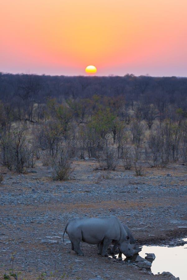 Seltene schwarze Nashörner, die vom waterhole bei Sonnenuntergang trinken Safari der wild lebenden Tiere in Nationalpark Etosha,  stockfotografie