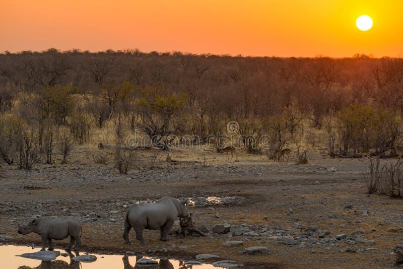 Seltene schwarze Nashörner, die vom waterhole bei Sonnenuntergang trinken Safari der wild lebenden Tiere in Nationalpark Etosha,  stockfotos