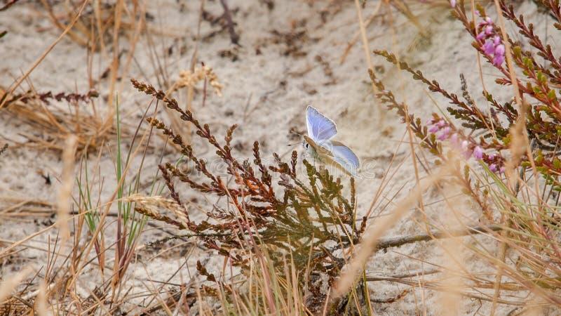 Seltener blauer Schmetterling auf halb totem Heidebusch in einem Sandbereich herein lizenzfreie stockbilder