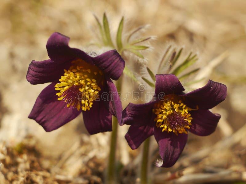 Seltener Frühlings-Blume Pulsatilla stockbild