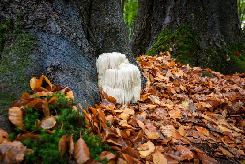 Seltener Löwe ` s Mähnenpilz in einem niederländischen Wald lizenzfreie stockfotos