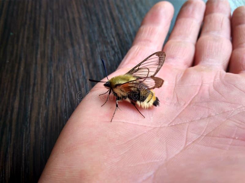 Seltener Schmetterling Hawk Moth auf der Hand des Mannes lizenzfreie stockbilder