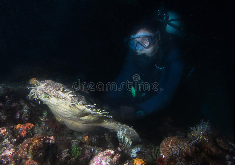 Seltener Teppichhaifisch Wobbegong lizenzfreies stockfoto