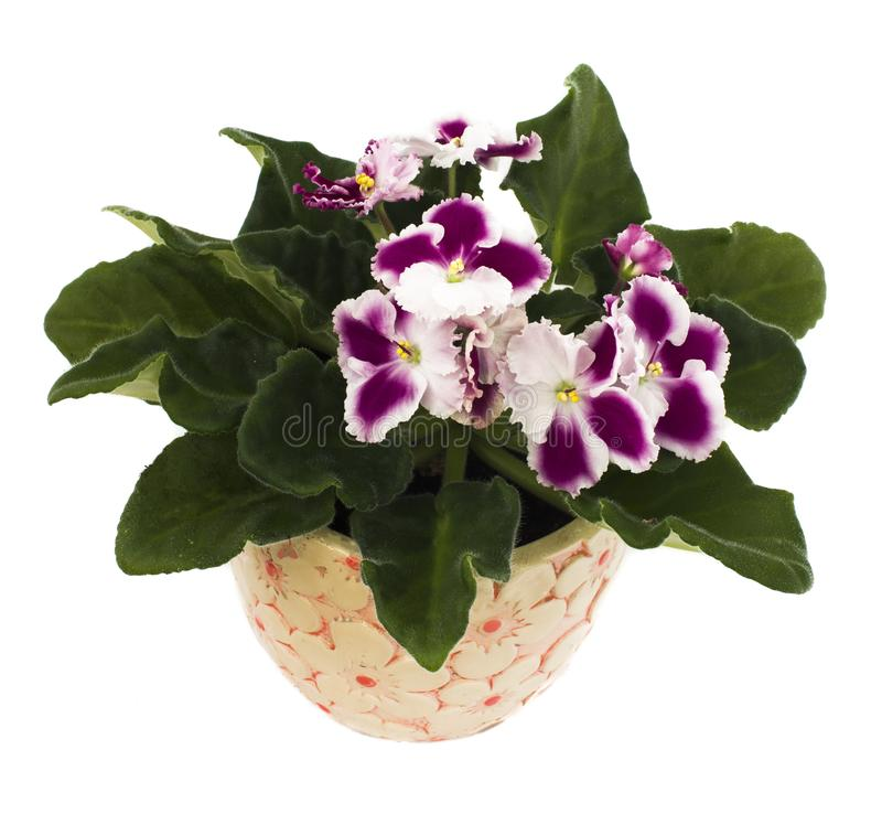 Seltenes bordo und weiße Rand senpolia Blumen im Topf auf weißem Hintergrund Lokalisiertes Weiß lizenzfreie stockfotografie