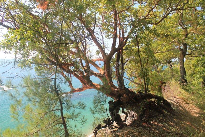 Seltsame Kiefer in der Reserve über dem Abgrund lizenzfreies stockbild