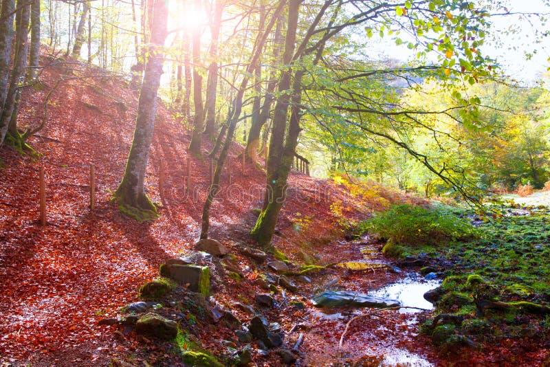 Selva da faia de Autumn Selva de Irati na Espanha de Navarra Pyrenees imagem de stock