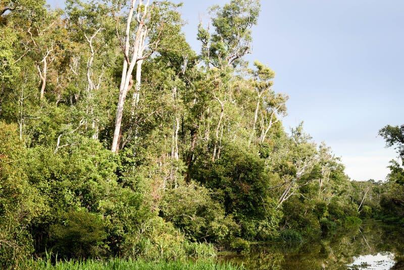 Selva de Bornéu, floresta úmida em Tanjung que põe o parque nacional Kalimantan Indonésia imagem de stock