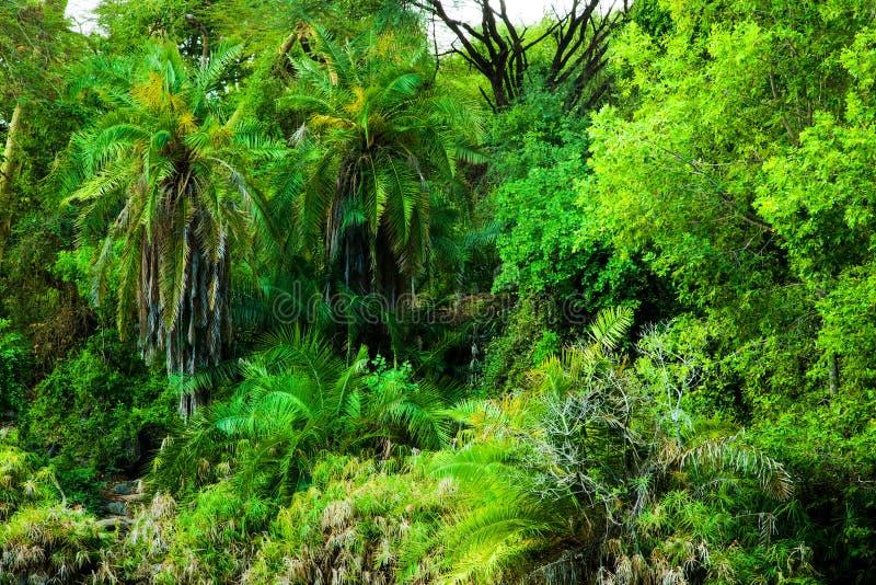 Selva, fondo de los árboles del arbusto en África. Tsavo del oeste, Kenia fotos de archivo