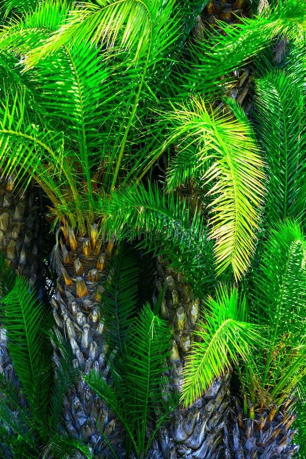 Selva grossa das palmeiras Fundo tropical das hortali?as da natureza Cor verde esmeralda vibrante saturada Teste padr?o natural d imagens de stock royalty free