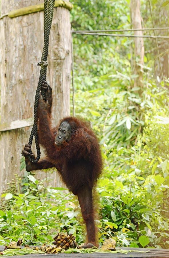 Selva livre selvagem engraçada bonita surpreendente de Sepilok do orangotango, Sabah, Bornéu imagem de stock royalty free