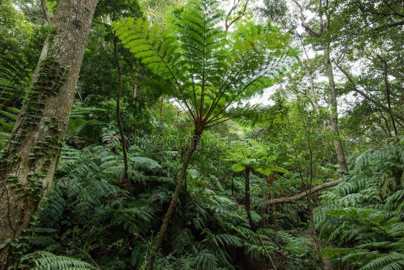 Selva tropical com samambaias de árvore, Okinawa da floresta úmida, Japão imagens de stock royalty free