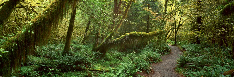 Selva tropical de Hoh, foto de archivo libre de regalías
