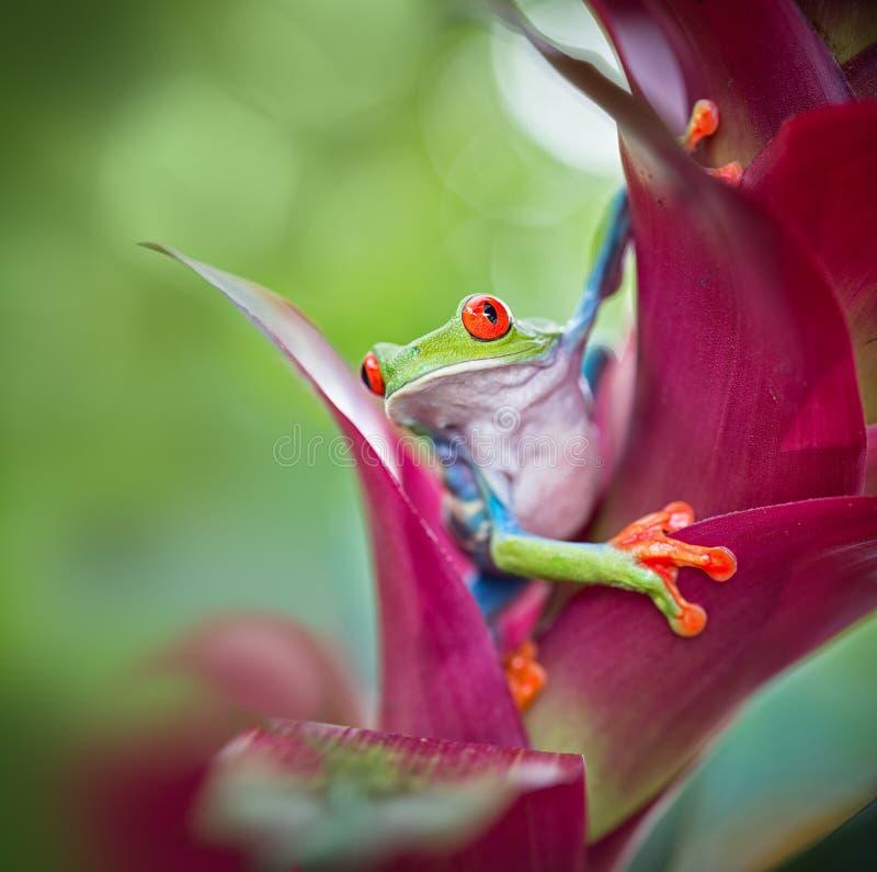 Selva tropical observada rojo de Costa Rica de la rana arbórea fotografía de archivo libre de regalías